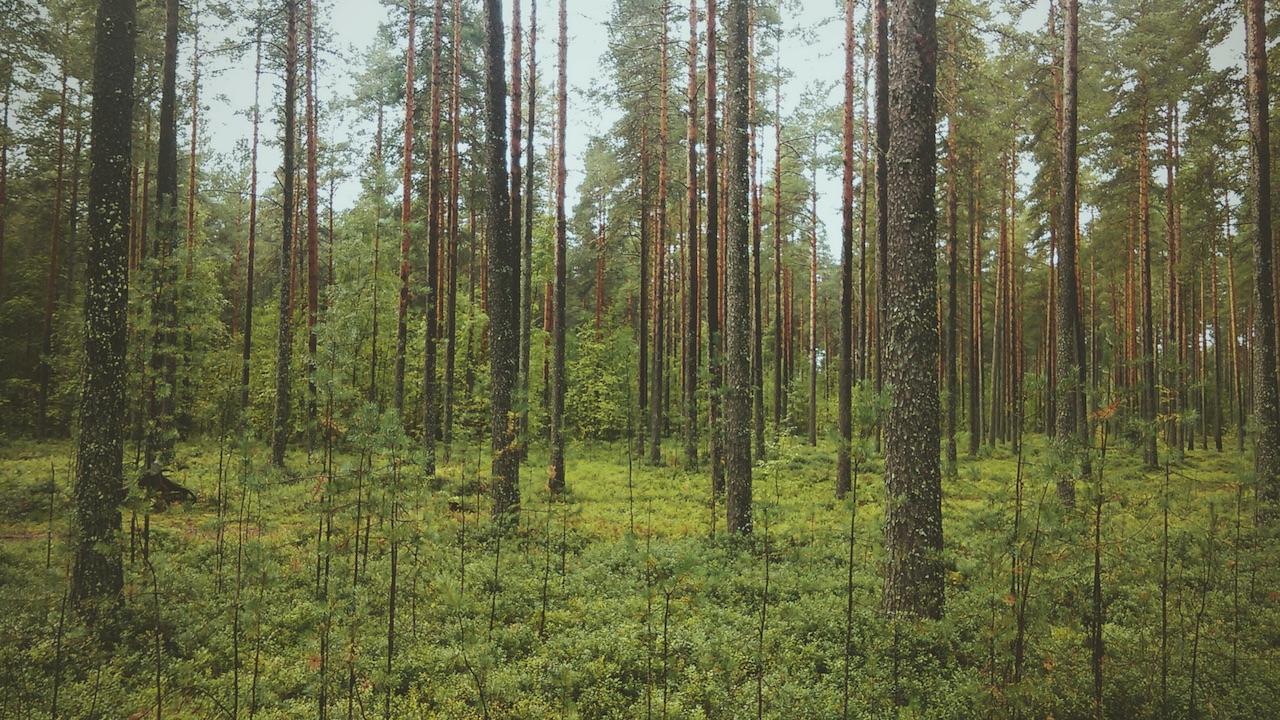 metsän terveysvaikutukset ovat huikeat. Metsä ja mindfulness yhdistetään Mindstonen eheyttävissä palvelukokonaisuuksissa